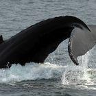 *** Sieg für die Buckelwale ***
