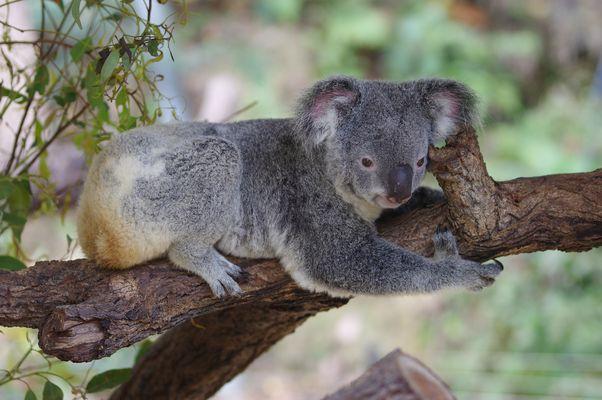 koala bilder zum ausdrucken  vorlagen zum ausmalen gratis