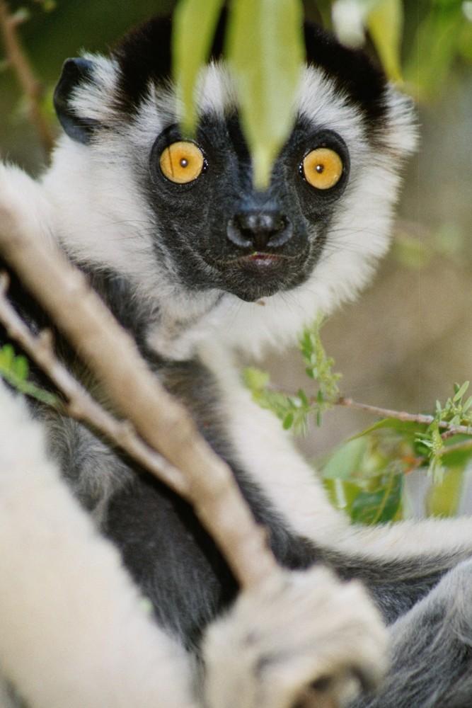 Sifaka in Kirindy (Madagascar)