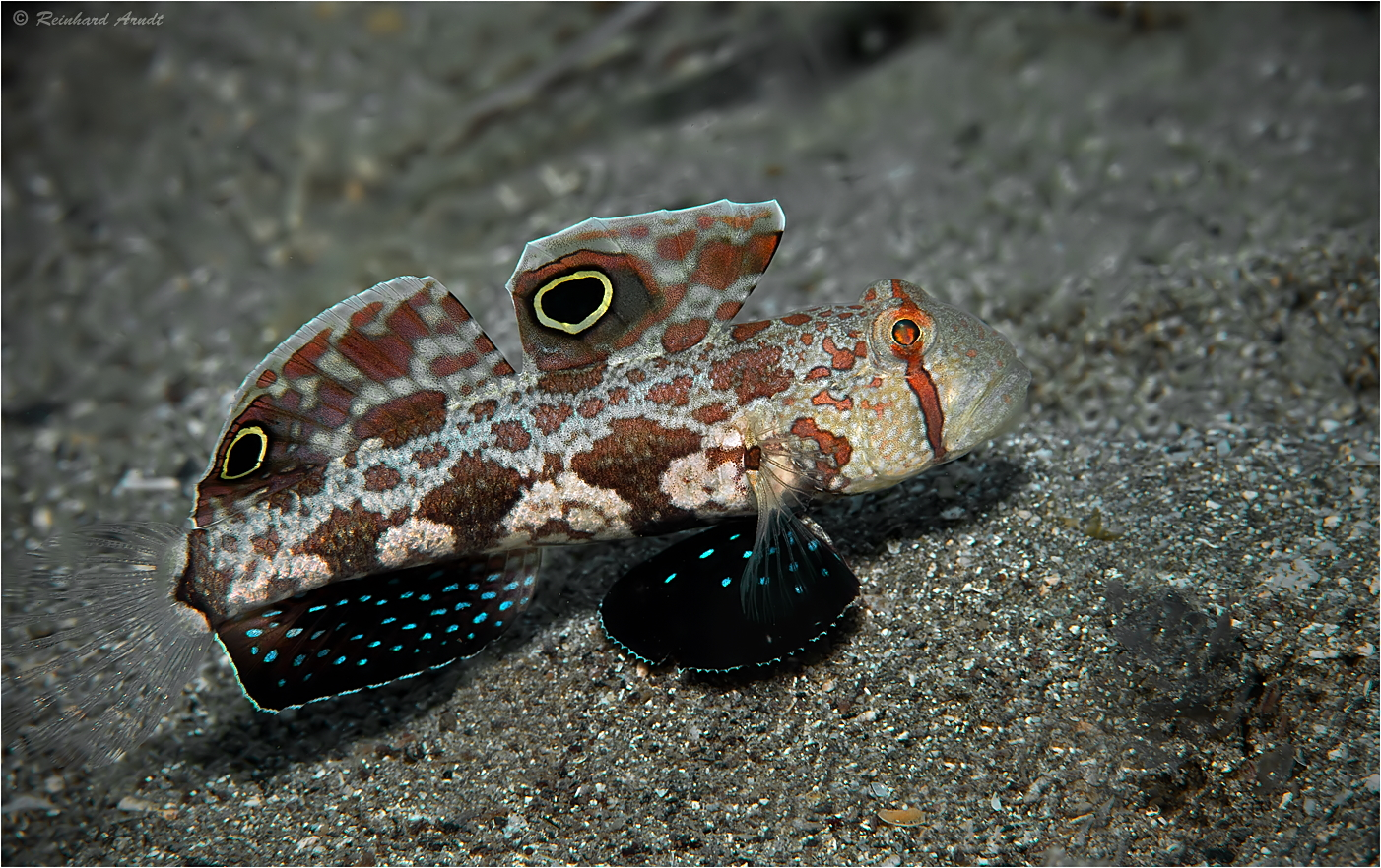 Signal Goby