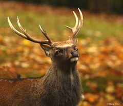 Sika-Hirsch in den Herbstfarben