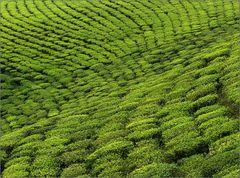 sikkim-tea