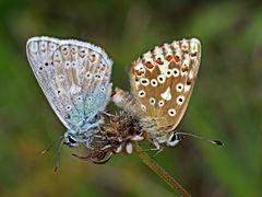 Silberbläuling (Polyommatus coridon)