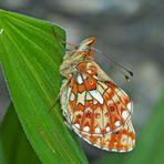 Silberfleck-Perlmutterfalter (Clossiana euphrosyne) - Le Grand Collier argenté.