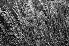 Silbergräser