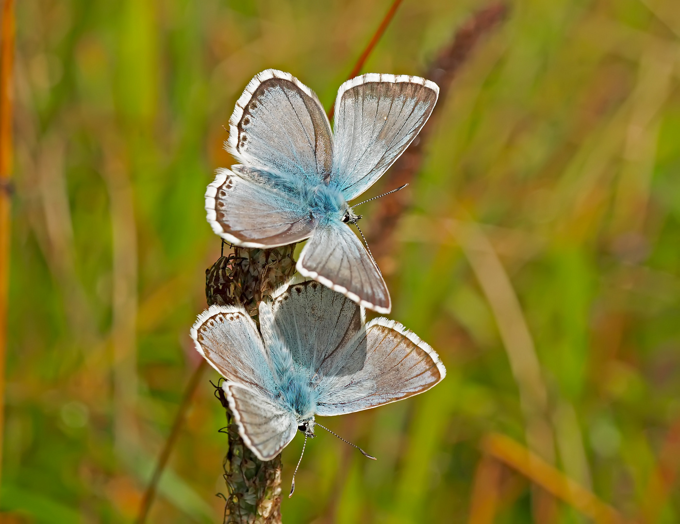 Silbergrüner Bläuling (Polyommatus coridon bzw. Lysandra coridon) - L'Argus bleu-nacré.