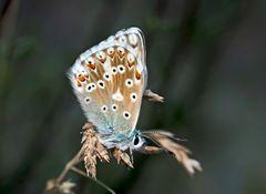Silbergrüner Bläuling (Polyommatus coridon). - L'Argus bleu-nacré, une femelle.