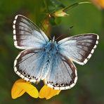 Silbergrüner Bläuling (Polyommatus coridon), Männchen. * - Argus bleu-nacré, un mâle.