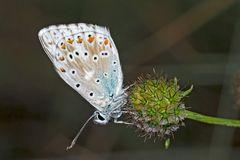 Silbergrüner Bläuling (Polyommatus coridon), Männchen.* - L'Argus bleu nacré.