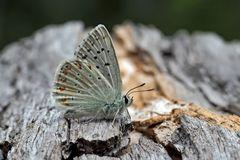 Silbergrüner Bläuling (Polyommatus coridon), Männchen - L'Argus bleu-nacré, un mâle.