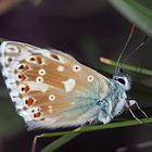 Silbergrüner Bläuling (Polyommatus coridon) - Une petite beauté!