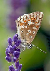 Silbergrüner Bläuling (Polyommatus coridon), Weibchen *  - Argus bleu nacré, femelle.