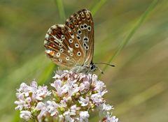 Silbergrüner Bläuling (Polyommatus coridon), Weibchen - L'Argus bleu-nacré, une femelle.