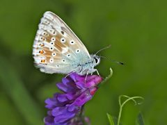 Silbergrüner Bläuling (Polyommatus; Lysandra coridon) - Argus bleu-nacré.