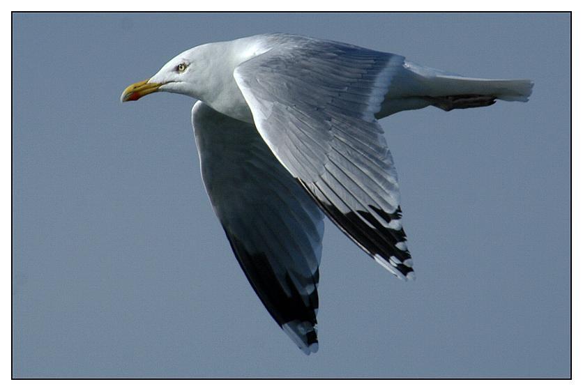 Silbermöwe im eleganten Flug