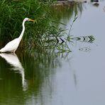 Silberreiher (Ardea alba), Great egret, Garceta grande