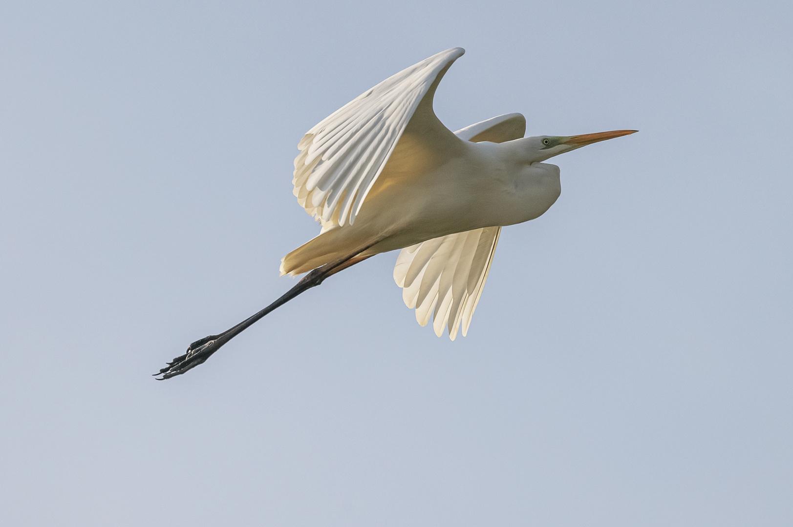 Silberreiher (Ardea alba, Syn.: Casmerodius albus, Egretta alba)