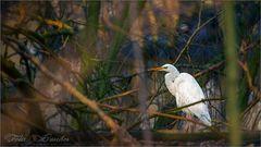 Silberreiher im Abendlicht (Great Egret)