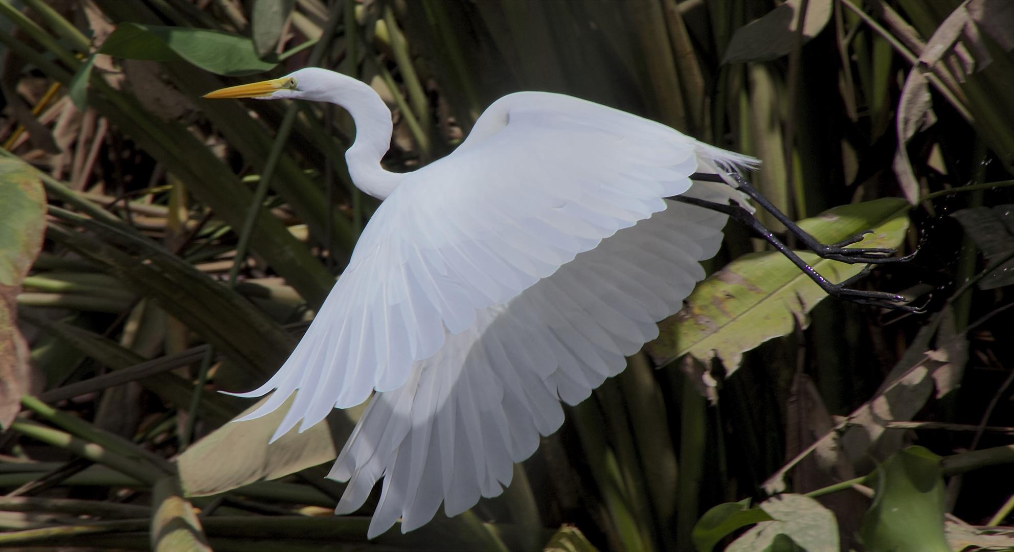Silberreiher im Mangrovenwald
