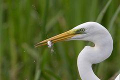 Silberreiher / White egret