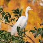 Silberreiher/Great Egret/Ardea alba