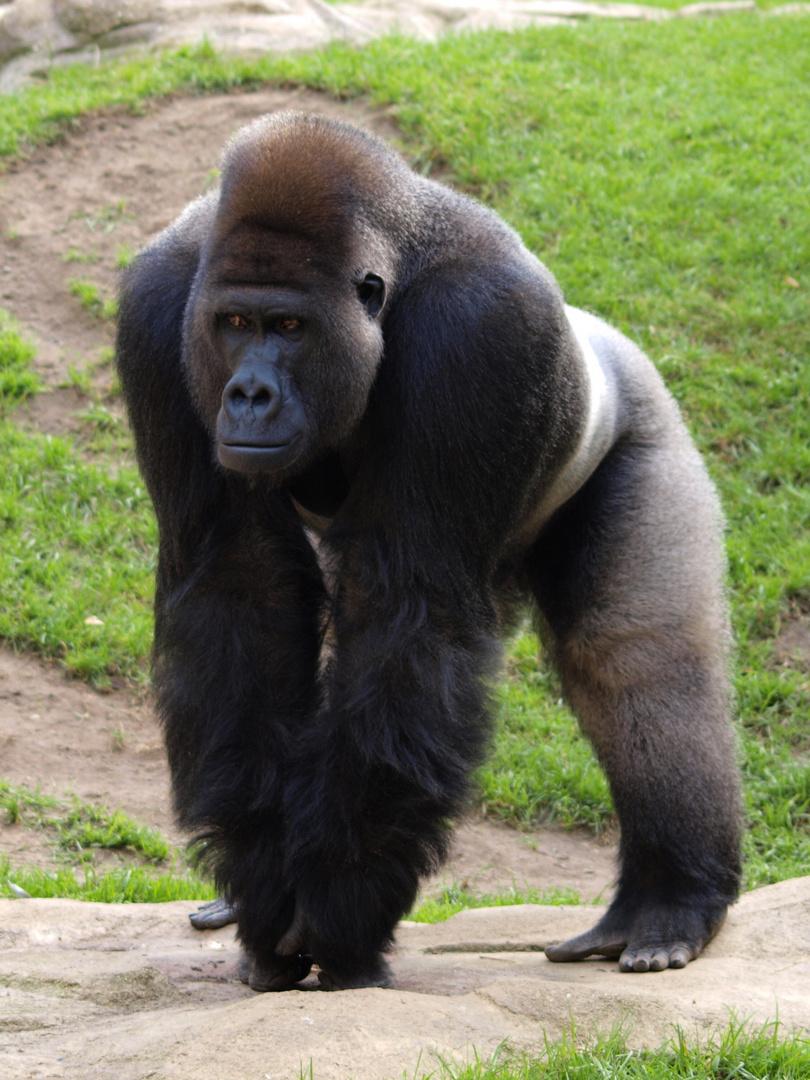 Silberruecken der Flachlandgorillas