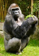 Silberrücken (Gorilla)