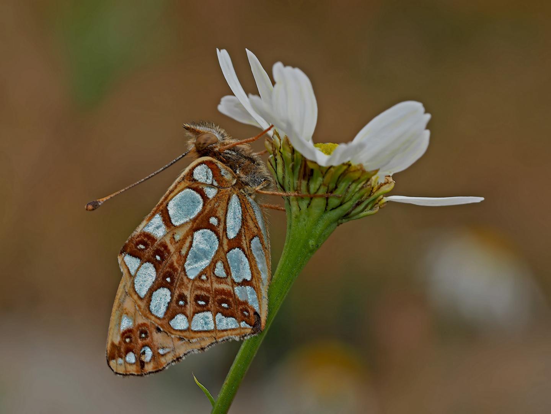 Silbriger Perlmuttfalter (Issoria lathonia) -  Le Petit nacré...