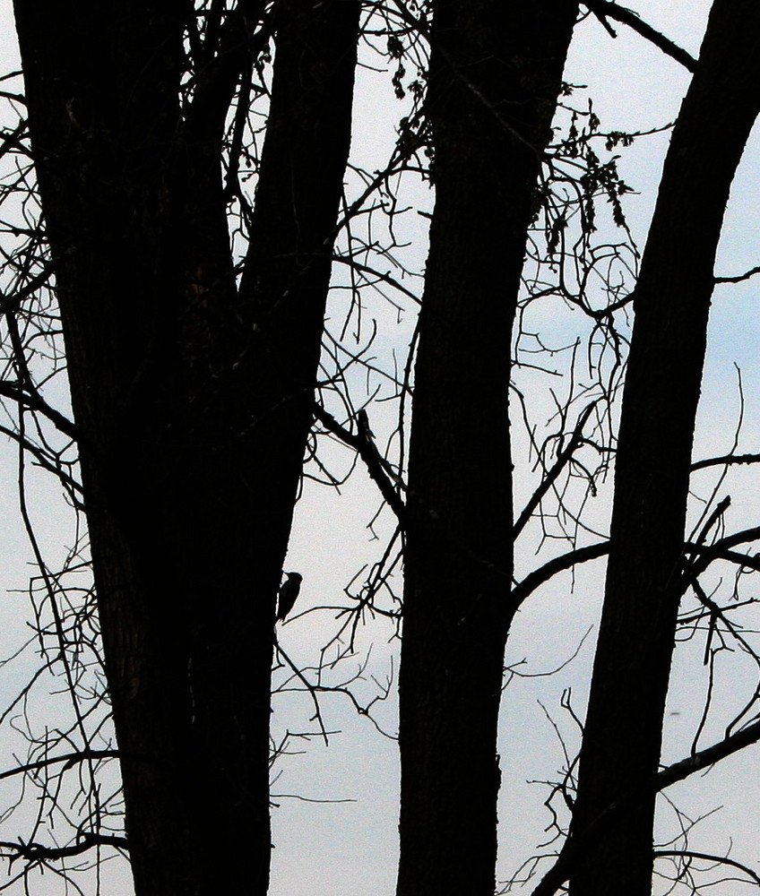 Silhouette of the Woodpecker
