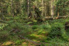 Silva nigra... der schwarze Wald