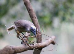 Silver Crowned Friarbird - Philemon argenticeps - Weißscheitellederkopf