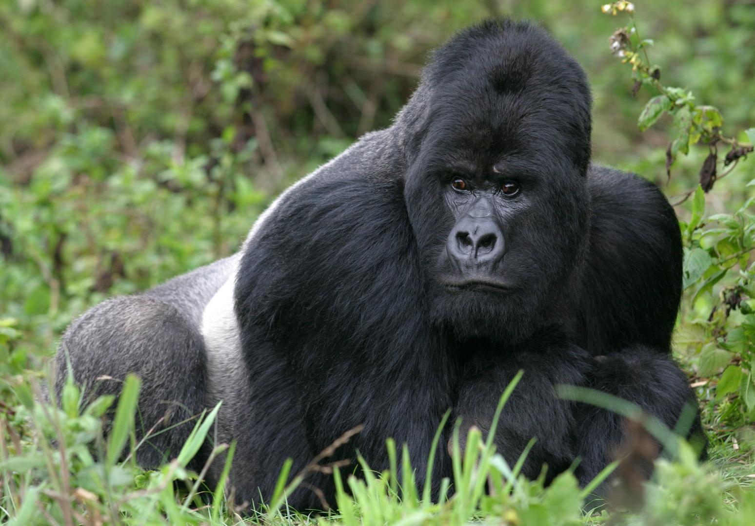 "Silverback (der Vater von ""babyboy"") - Berggorilla aus dem Virunga Nationalpark, Rwanda"