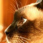 Simba The Cat