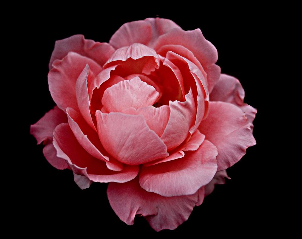 Simplemente rosa