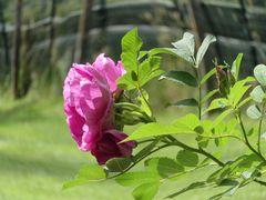 ...Simples Roses...
