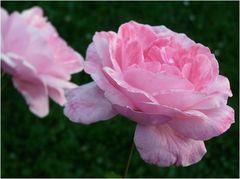 simply roses...