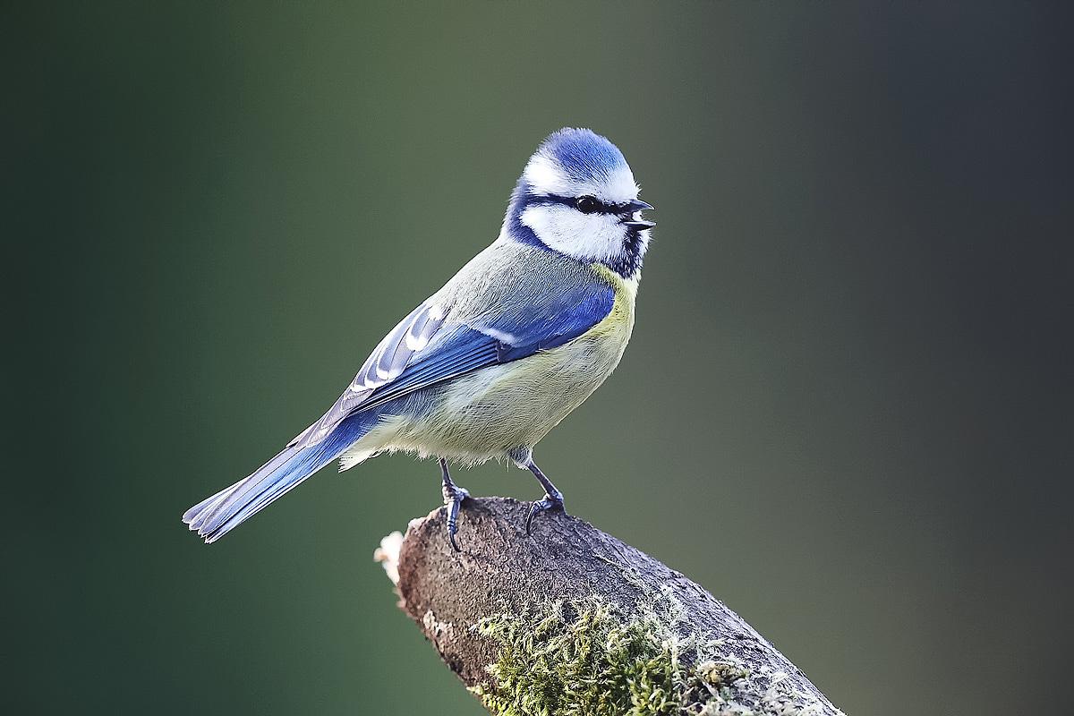 Singende Blaumeise