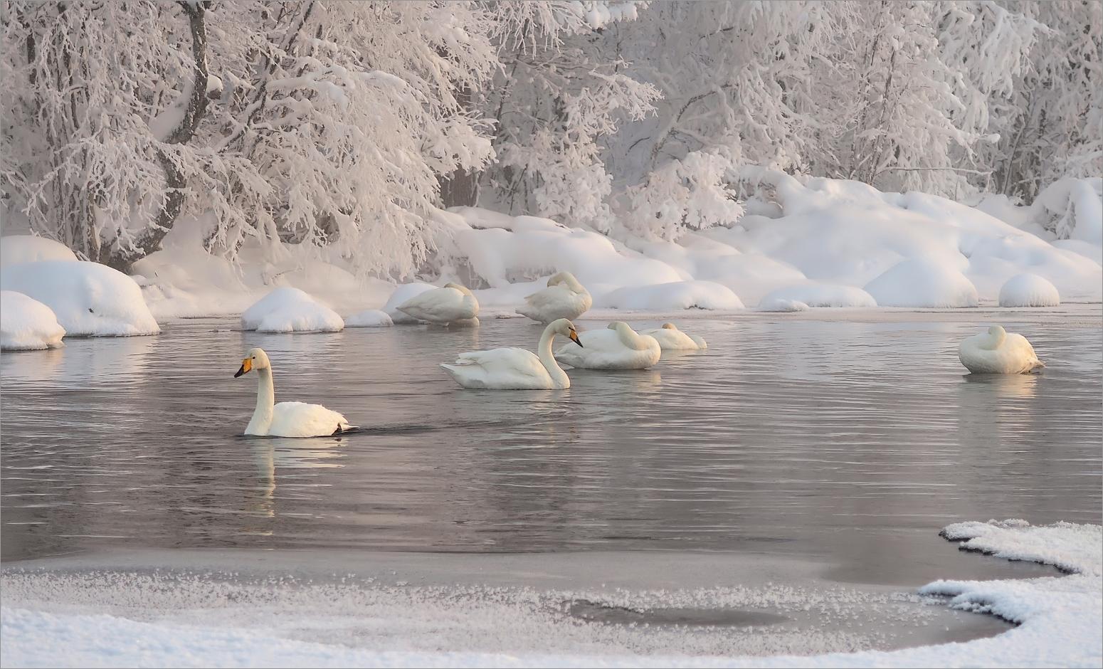 Singschwäne am Jerisjärvi