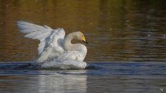 Singschwan (Cygnus cygnus) beim baden ...