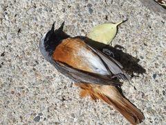Singvögel der Heimat                   P5100041