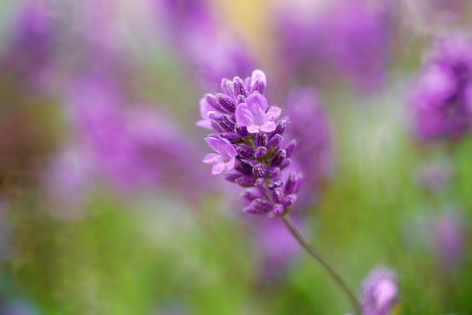 sinniges leuchten in violett ...