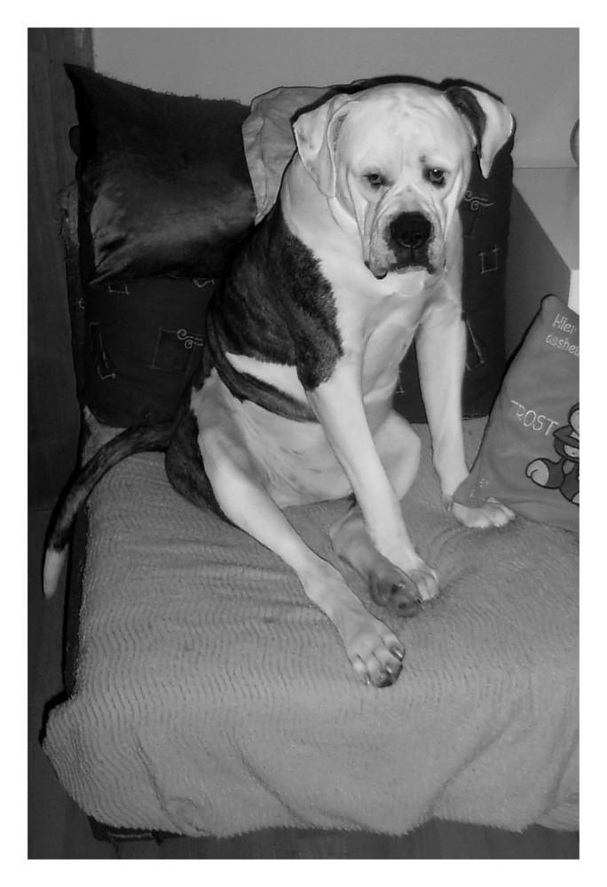 sitting bull(dog)