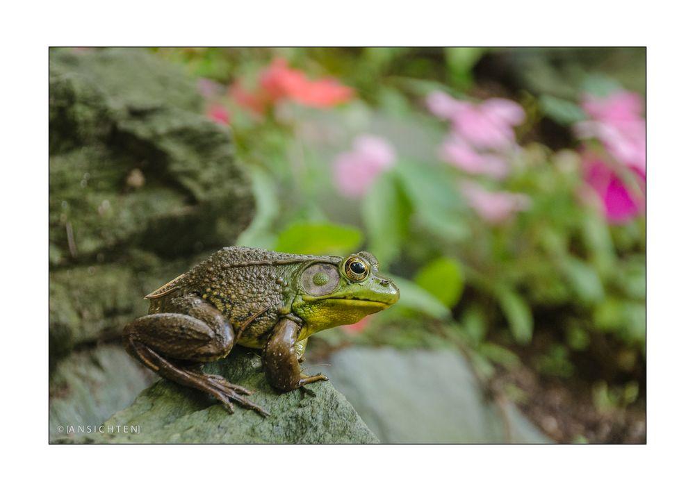 [sitting bullfrog]