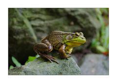[sitting bullfrog II]