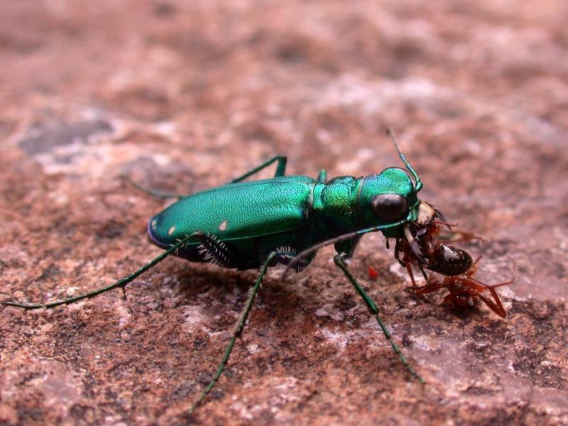 Six Spotted Tiger beetle killing an ant (Cicindela sexguttata)