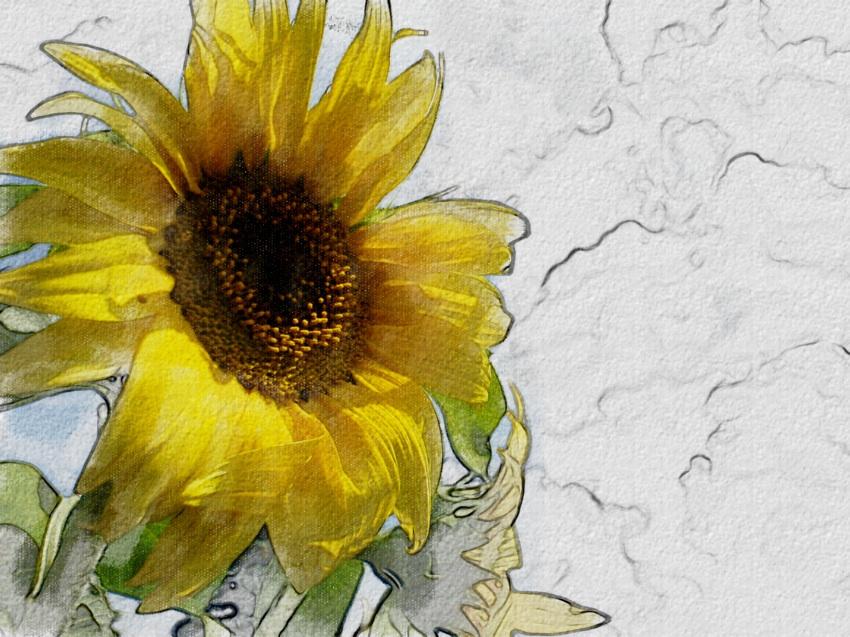 ::: sketch of a sunflower :::