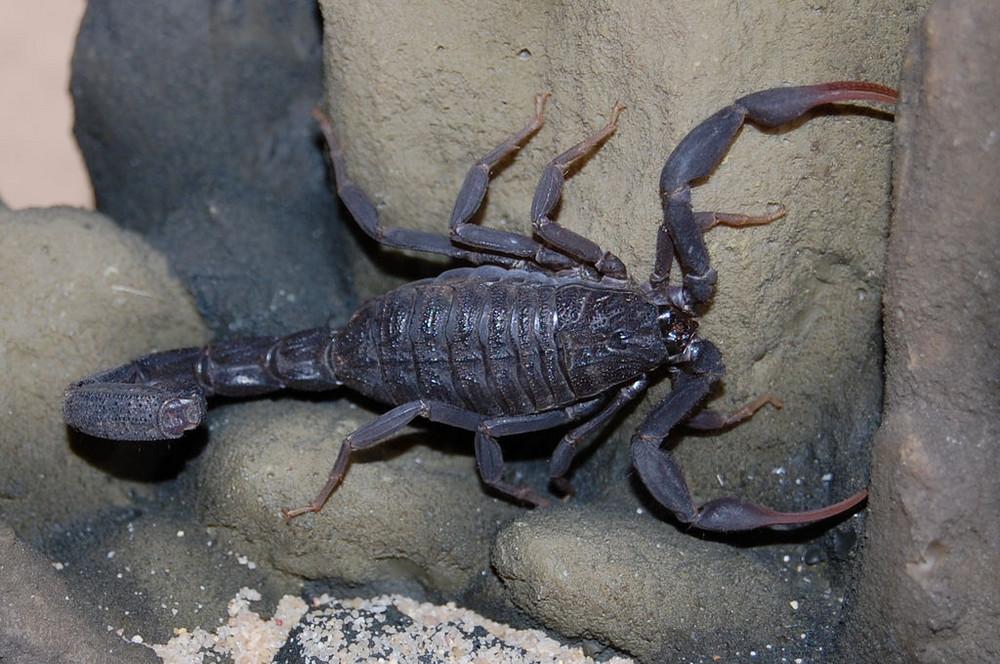 Skorpion - Hottentotta judaicus