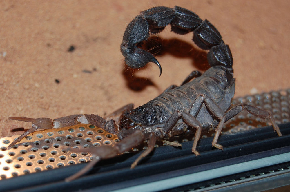 Skorpion - Parabuthus transvaalicus