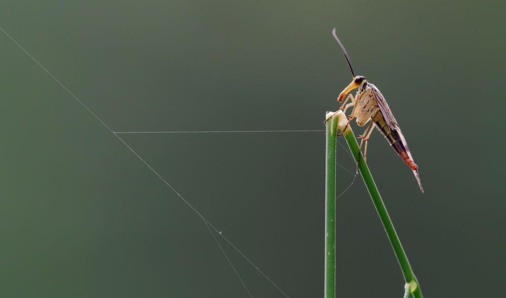 Skorpionfliege (weiblich)