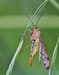 Skorpionsfliege 2